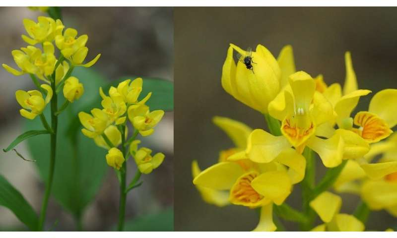 What's eating these endangered orchids?