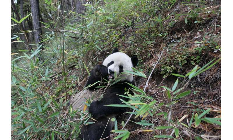 What's giant panda conservation worth? Billions every year, study shows