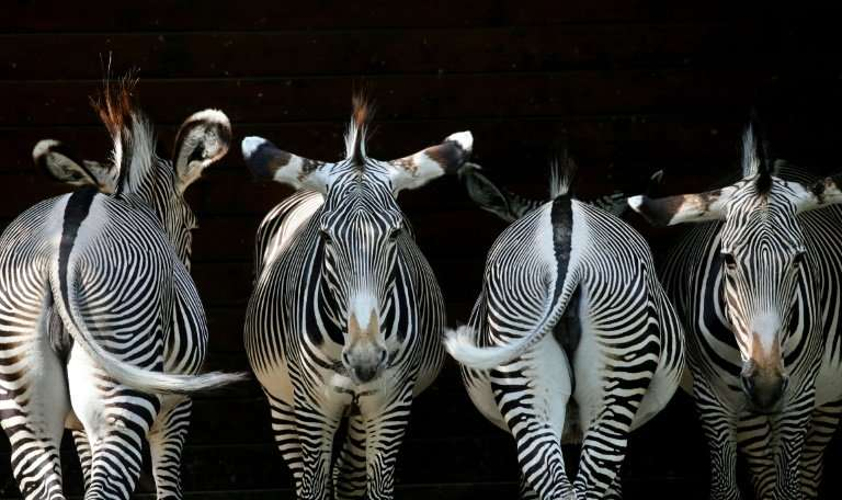 When chased, zebras and impalas compensate for their slower speed by moving unpredictably to evade outstretched claws
