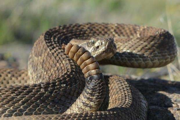 Why are some animals venomous?