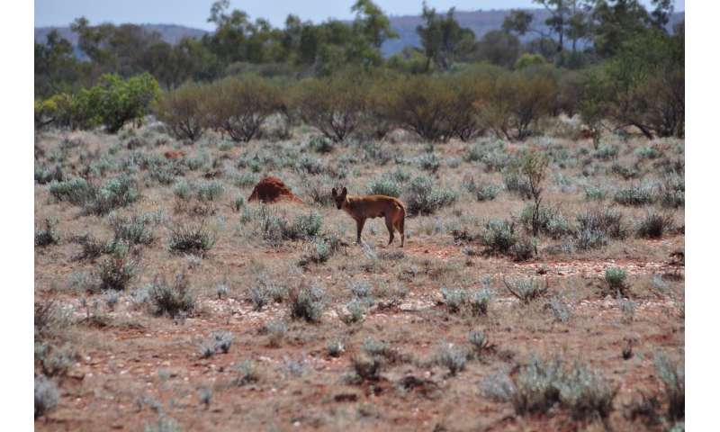 Why do dingoes attack people, and how can we prevent it?