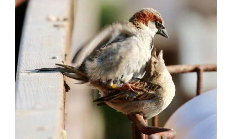 Why do older male birds father more illegitimate children?