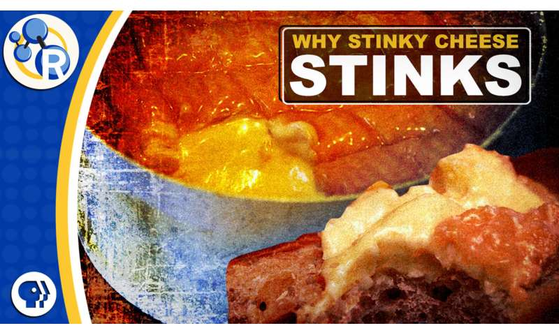 Why stinky cheeses stink (video)