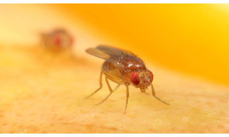 Wild African fruit flies offer clues to their modern-day domestic life