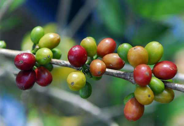 Wild coffee plants, Christmas trees and chocolate's tree are surprisingly poorly protected