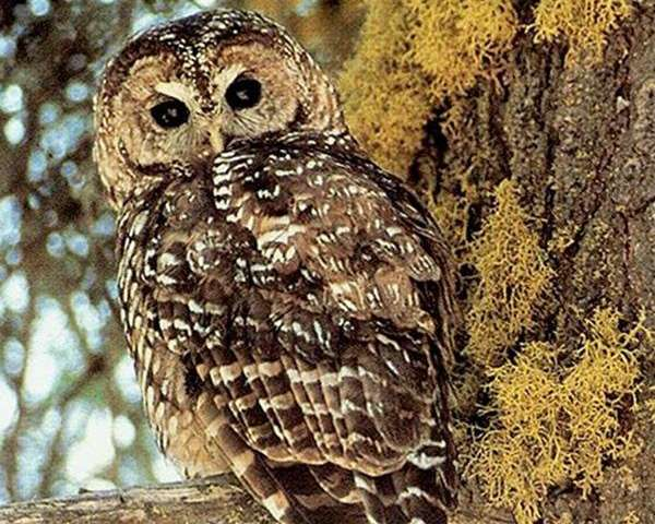 Wildfire management designed to protect Spotted Owls may be outdated