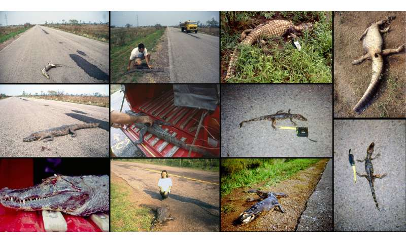 Wildlife on the highway to hell: Roadkill in the largest wetland, Pantanal region, Brazil