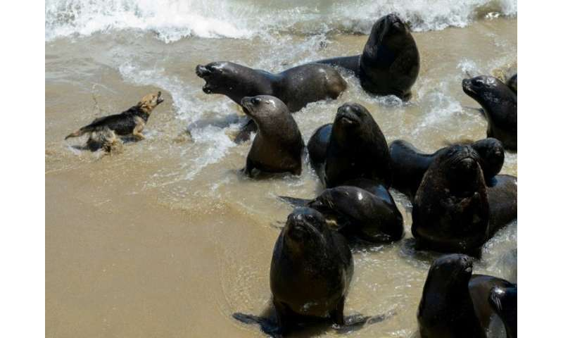With a ban on hunting them, the South American sea lions have almost no predators now and compete with humans for fish