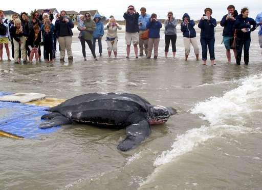 Leatherback Sea Turtle (Lute Turtle) [VIDEO] - All Turtles