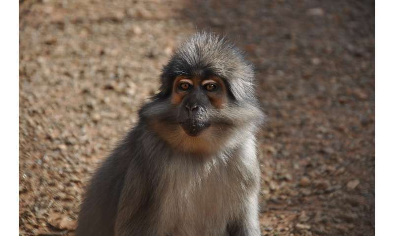 Yerkes researchers find clues to AIDS resistance in sooty mangabey genome