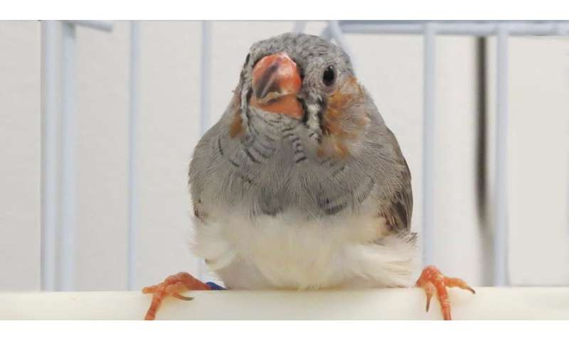 Zebra finches' social experiences alter their genomic DNA, changing ability to learn