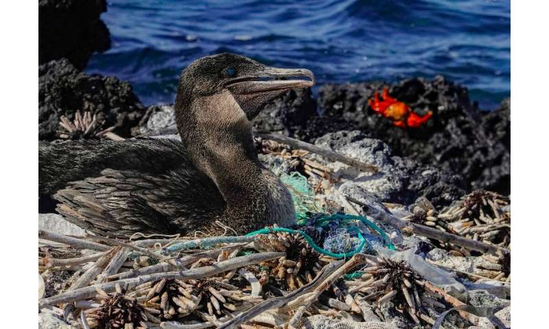 A flightless cormorant  sits on her nest surrounded by plastic waste on a remote island off the coast of Ecuador