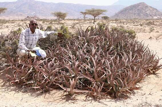 Aloe sanguinalis, a new red Aloe from Somaliland