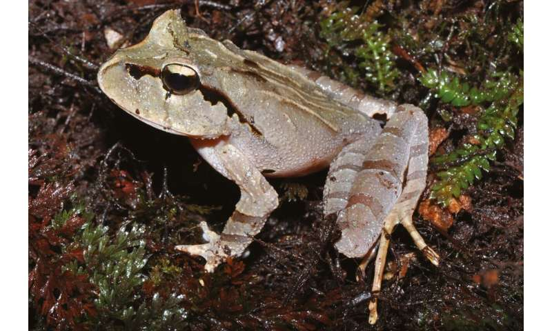 An island haven for frogs in a sea of extinctions