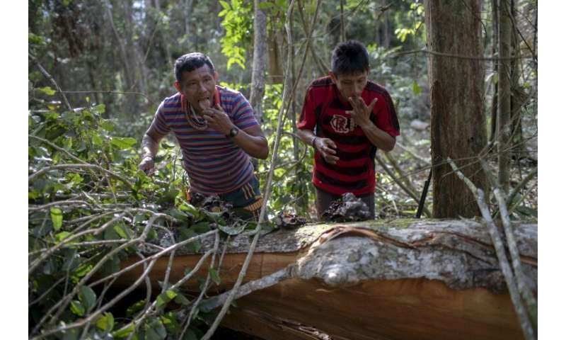 Arara indigenous chief Tatji Arara (R), and another tribe member eat honey found in a tree, which was ilegally cut down, as they
