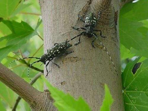 Asian longhorned beetle larvae eat plant tissues that their parents cannot