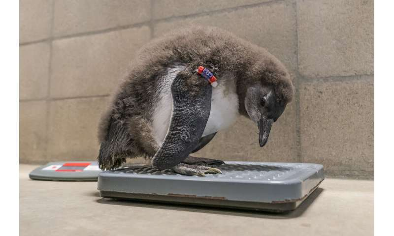 Baby penguins hatched at San Diego Zoo