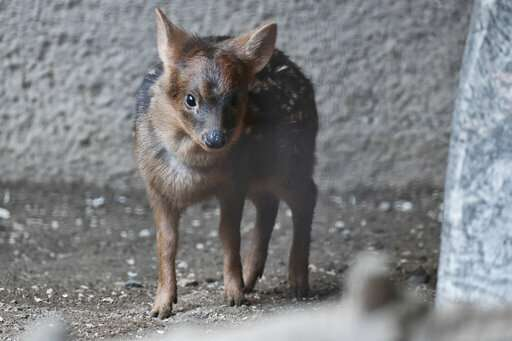 Baby pudu named for Korean pop star debuts at LA Zoo