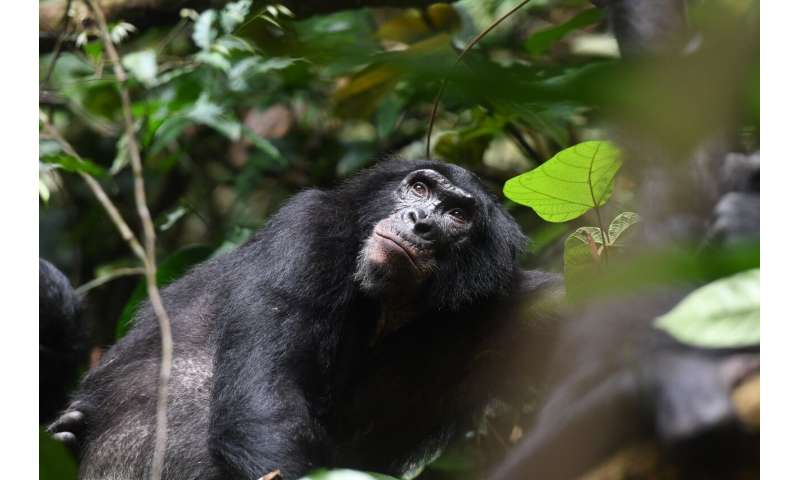 Bonobo moms play an active role in helping their sons find a mate