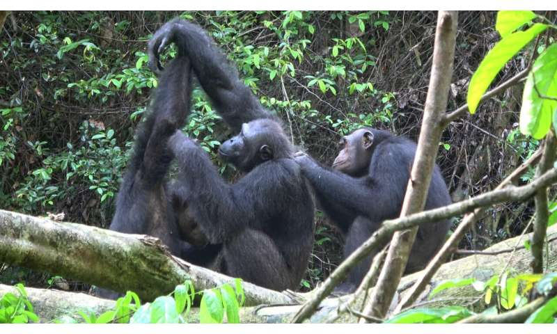 Chimpanzees lose their behavioral and cultural diversity