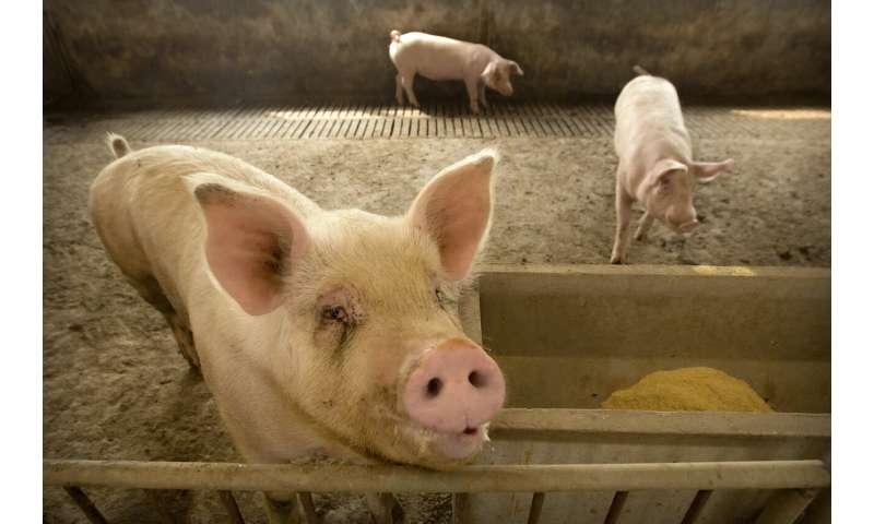 El brote de enfermedad porcina en China eleva los precios mundiales del cerdo