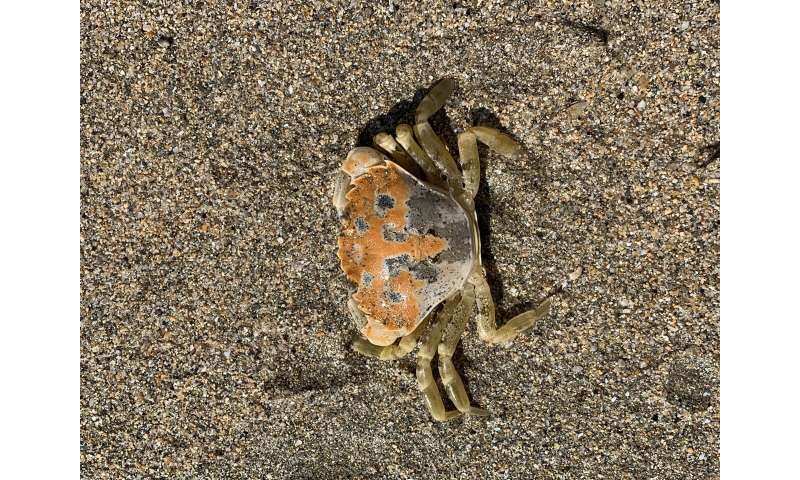 Crabs' camouflage tricks revealed