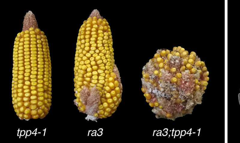 Crop yield in maize influenced by unexpected gene 'moonlighting'