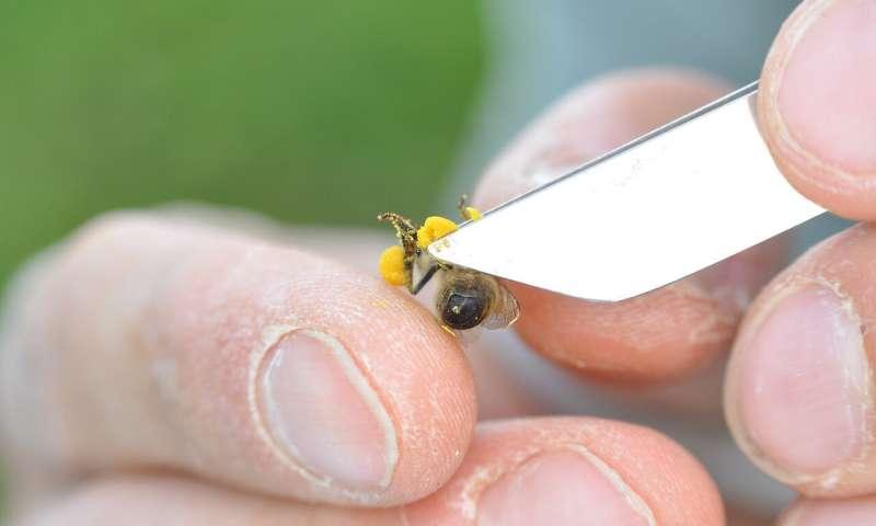Prueba de campo con neonicotinoides: las abejas son mucho más robustas que los abejorros