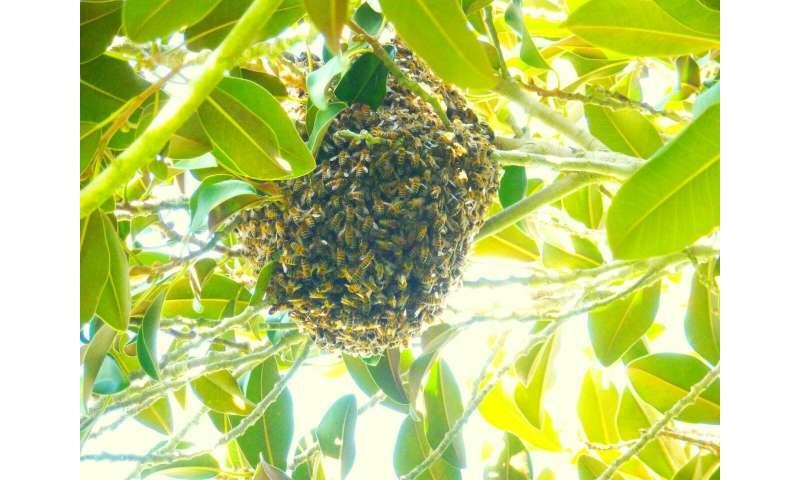 Las abejas extranjeras monopolizan los recursos del premio en el hotspot de biodiversidad