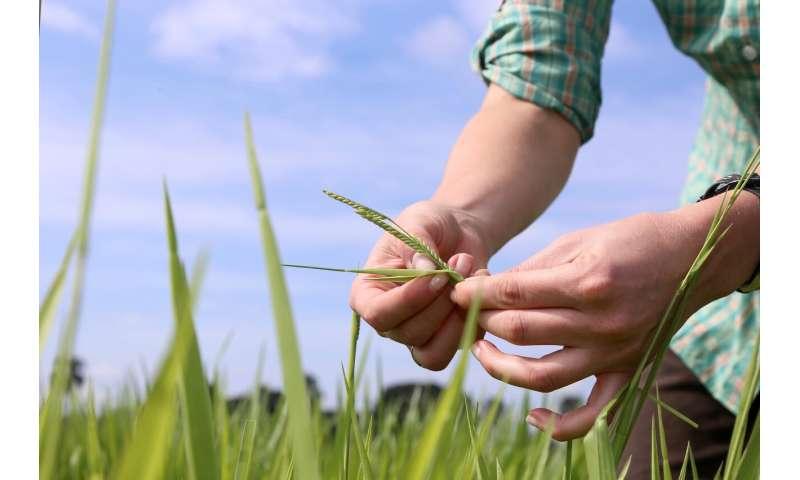 El avance genético en el pasto tropical podría ayudar a desarrollar granjas de ganado amigables con el clima
