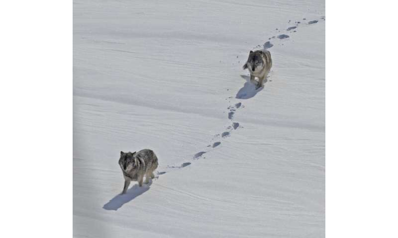 Genomics of Isle Royale wolves reveal impacts of inbreeding