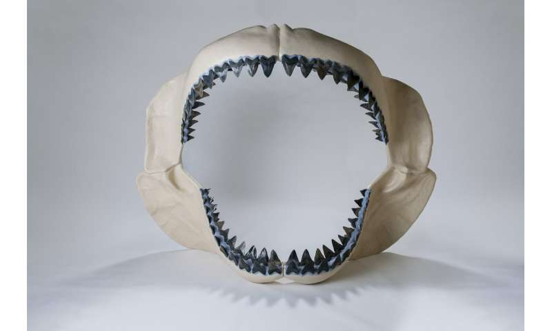 How megalodon's teeth evolved into the 'ultimate cutting tools'