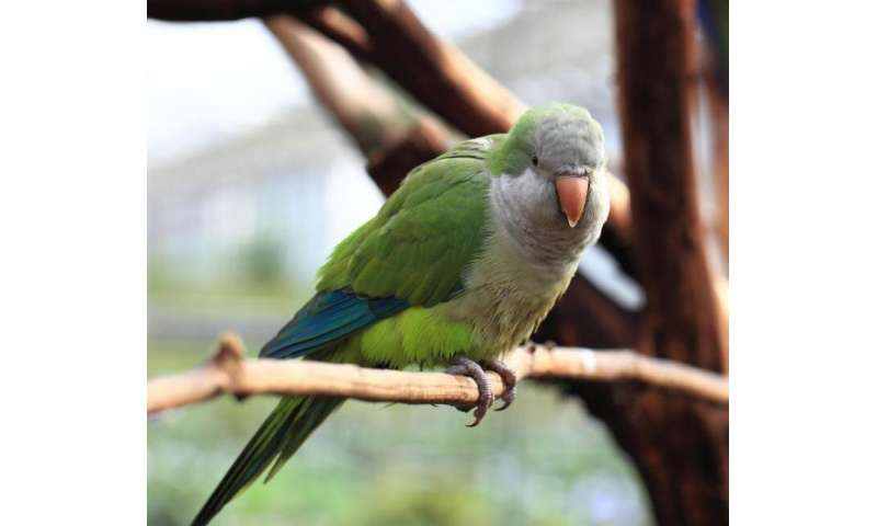 Invasive parrots have varying impacts on European biodiversity