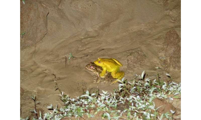 Killer tadpoles threaten Andaman archipelago's native frog species