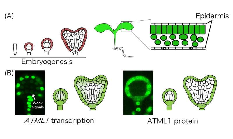 Location is everything for plant cell differentiation