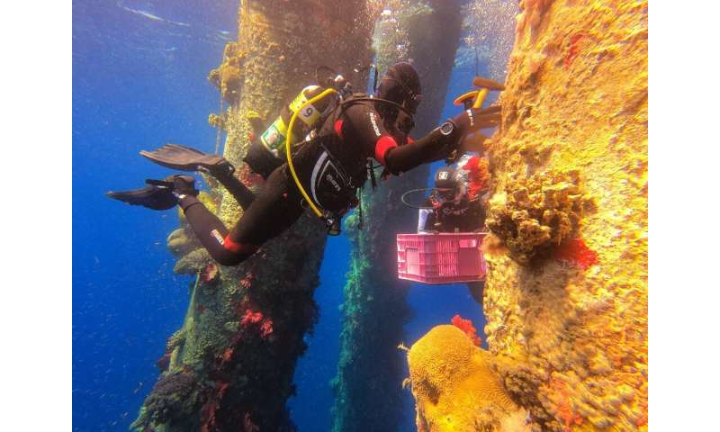 Marine ecologists are removing Red Sea coral and moving them to another site to avoid them perishing during maintenance works on