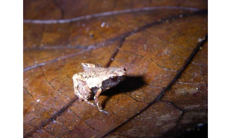 Meet the mini frogs of Madagascar—the new species we've discovered