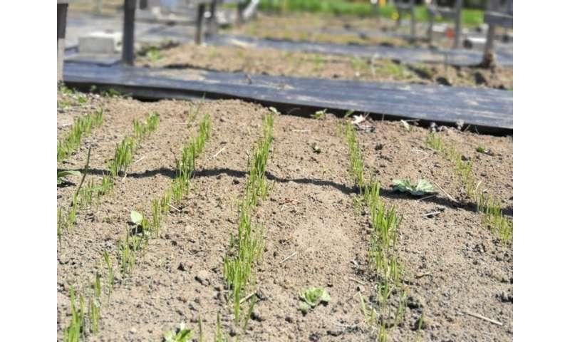 Los aromas microbianos podrían salvar los cultivos de la sequía.