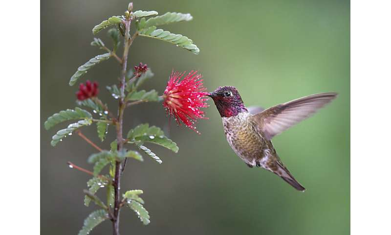 Most microbes in hummingbird feeders do not pose health hazard