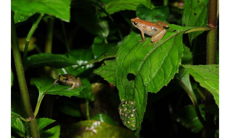 NYU Abu Dhabi researchers discover new frog species on remote Ethiopian mountain