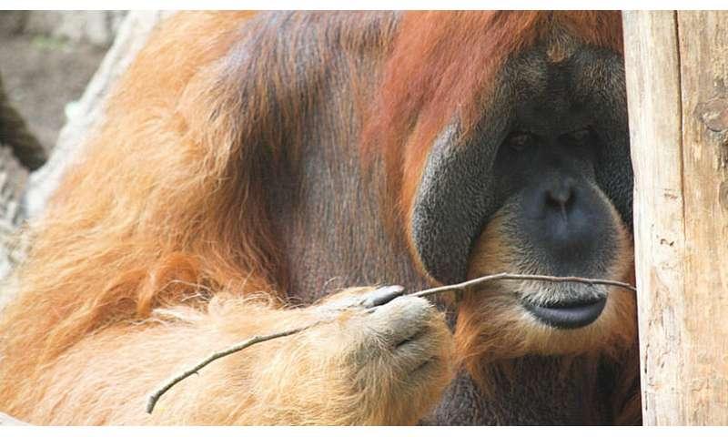 [Image: 1-orangutansma.jpg]