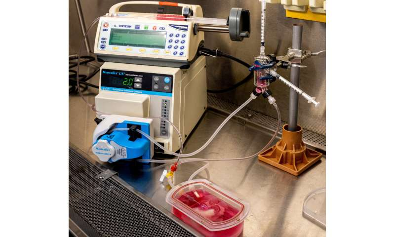 Pitt first to grow genetically engineered mini livers to study disease and therapeutics