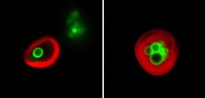 Plant cells eat their own ... membranes and oil droplets