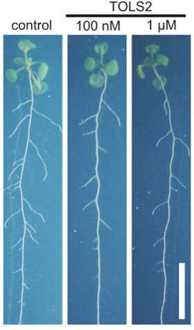 Plant peptide helps roots to branch out in the right places