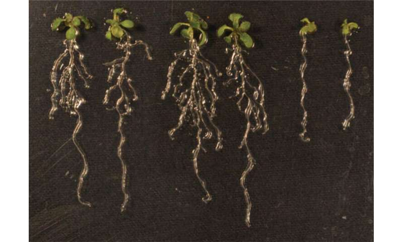 Putting the brakes on lateral root development