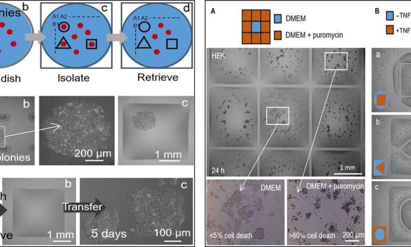 Raising fluid walls around living cells