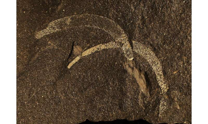 Rare fossils provide a more detailed picture of biodiversity during the Middle Ordovician