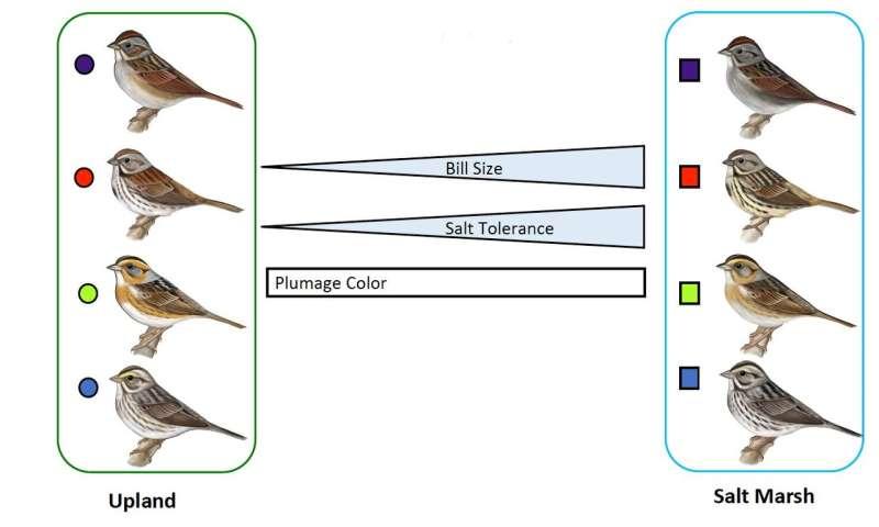 Salt regulation among saltmarsh sparrows evolved in 4 unique ways