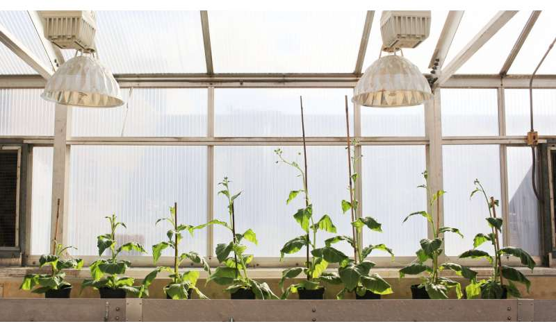 Scientists engineer shortcut for photosynthetic glitch, boost crop growth by 40 percent