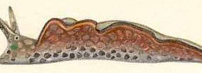 Seaweed and sea slugs rely on toxic bacteria to defend againstpredators